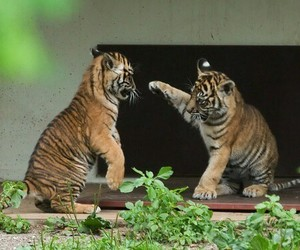 nature, tigers, and so sweet image