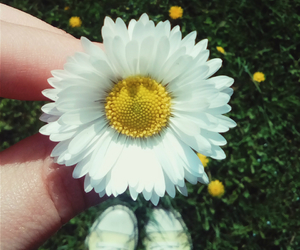 daisy, plants, and flowers image