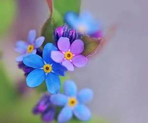 flowers and myosotis image