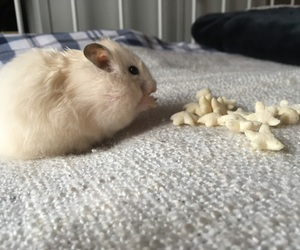 animal, fluffy, and hamster image