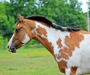 horse, equestrian, and paint image