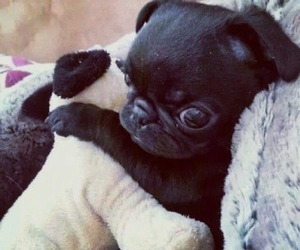 dog, pug, and puppy image