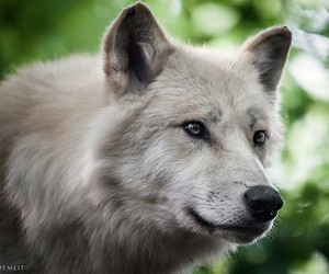 eyes, nature, and wolf image
