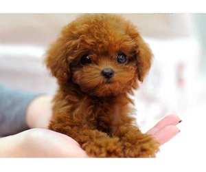 cute and ginger toy poodle image