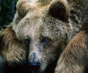 bear, big, and brown image