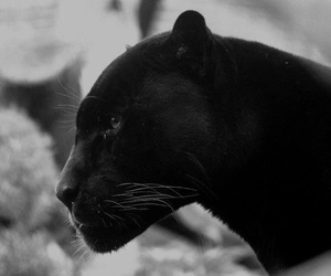 black and animal image