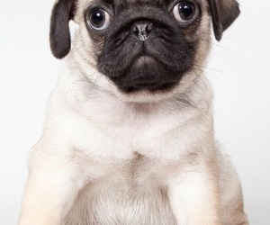 adorable, dogs, and pugs image
