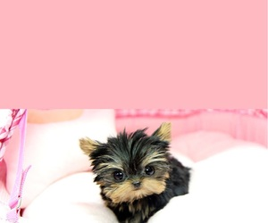 yorkie, yorkshire terrier, and miniature teacup yorkie image