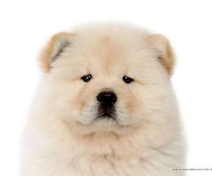 dog, puppy, and chow chow image