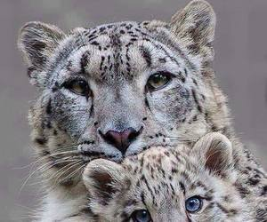 animal, snow leopard, and wild image