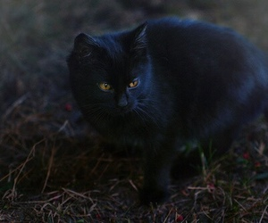 cat, black cat, and nature image