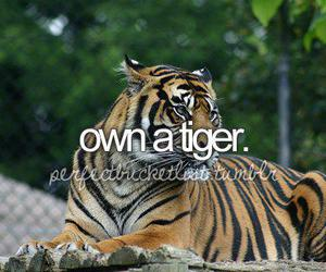 before i die, tiger, and pet image