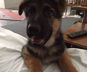 german shepherd, puppy, and 3monthsold image