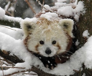 snow, cute, and Red panda image