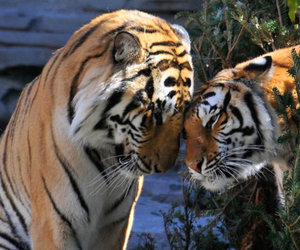 tigers, cute, and love image