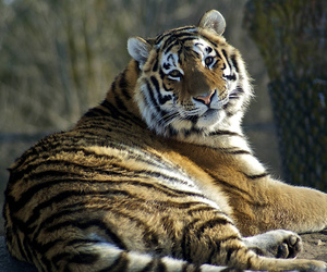 bbc, siberian tiger, and anawesomeshot image
