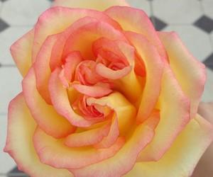 amarelo, flor, and flower image