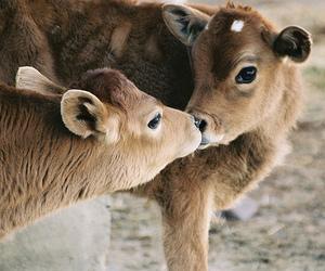 animal, cute, and calf image