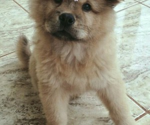 chow chow and puppies image