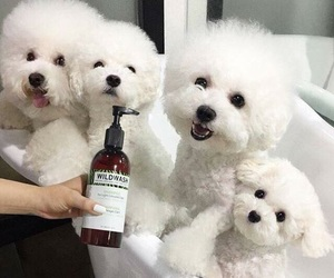 puppies, puppy, and bichon image