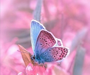 butterfly's and pink delecate image