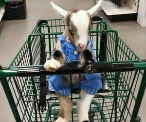 funny, animal, and goat image