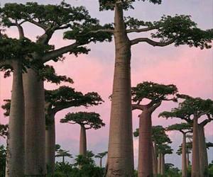 africa, madagascar, and baobab image