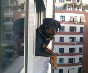 dog, cute, and rottweiler image