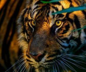 tiger, tigre, and tijger image