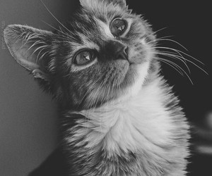 black and white, cat, and gato image