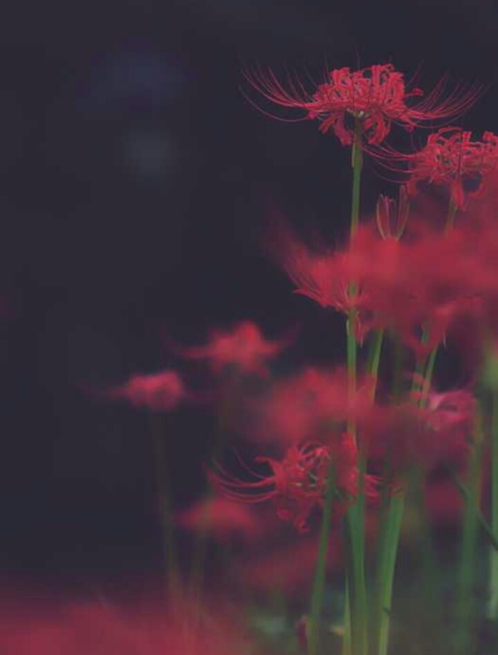 Anime Perfect Images Of Images Of Aesthetic Anime Red Spider Lily Wallpaper