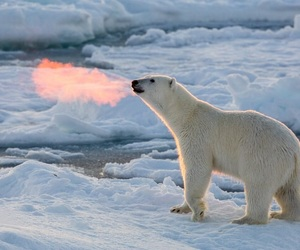 Polar Bear, snow, and animal image