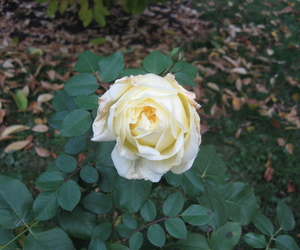 fall, rose, and time image