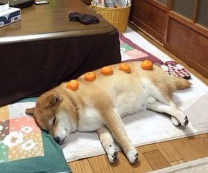dog and shiba inu image