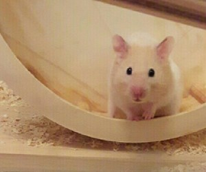 hamster and pet image