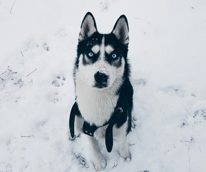 husky, lovely, and mongolia image