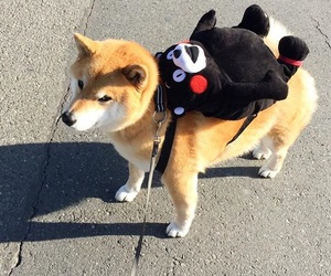 dog, animal, and shiba inu image