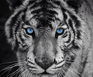 black and white, blanco y negro, and tiger image