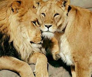 lions animals image