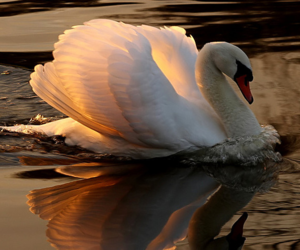 Swan, nature, and bird image