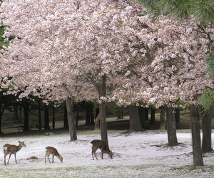 deer, sakura, and winter image