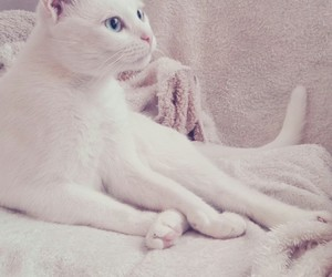 beauty, blue, and cat image