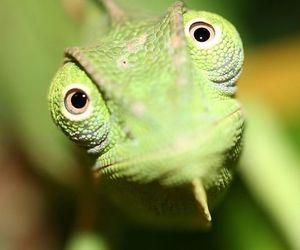 chameleon and green image