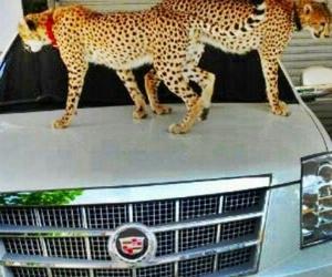 cadillac, car, and cats image