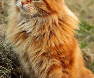 cat, tabby, and fluffy image