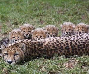cheetah, cute, and animals image