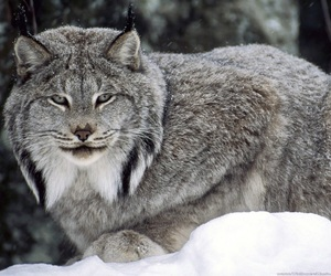 lynx, animal, and snow image