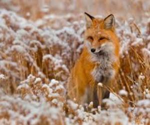 fox, orange, and wild image