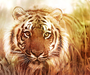 nature and tiger image