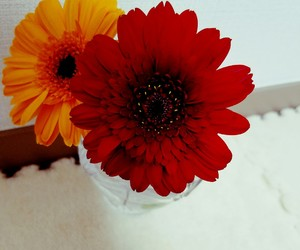 beautiful, flowers, and gerbera image